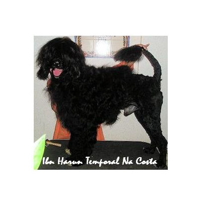 portuguese water dog : Ibn Harun Temporal Na Costa