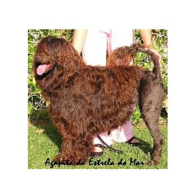 portuguese water dog : Agapita Da Estrela Do Mar