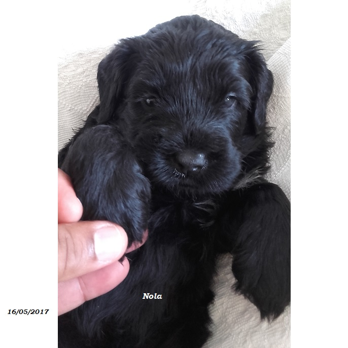 Portuguese Water Dog Pwd Comes From The Crossbreed Between