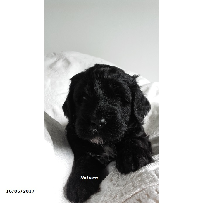 chiot portuguese water dog puppy