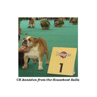 English bulldog : CH Anniston from the Houseboat Bulls
