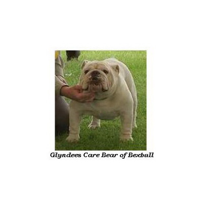 English bulldog : Glyndee's Care Bear of Bexbull