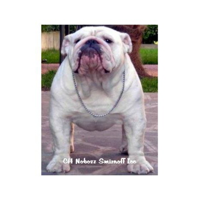 English bulldog : CH Nobozz Smirnoff Ice