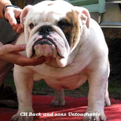 English bulldog : CH Buck and sons Untouchable
