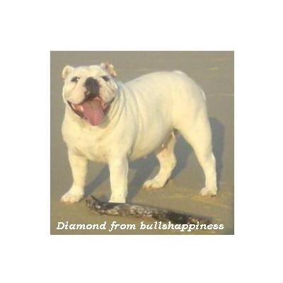 English bulldog : Diamond from Bullhappiness