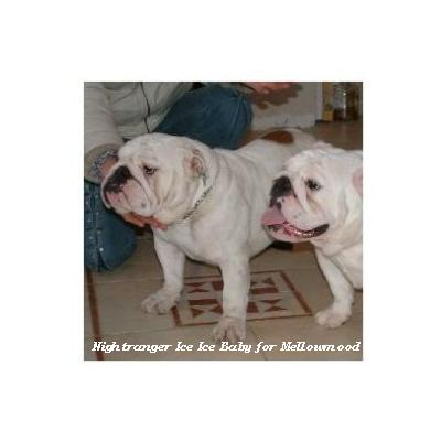 English bulldog : Nightranger Ice Ice Baby for Mellowmood