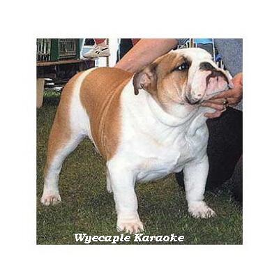 English bulldog : CH Wyecaple Karaoke