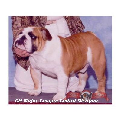 English bulldog : CH Major League Lethal Weapon