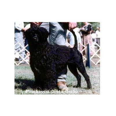 portuguese water dog : Pinehaven Greta Garbo