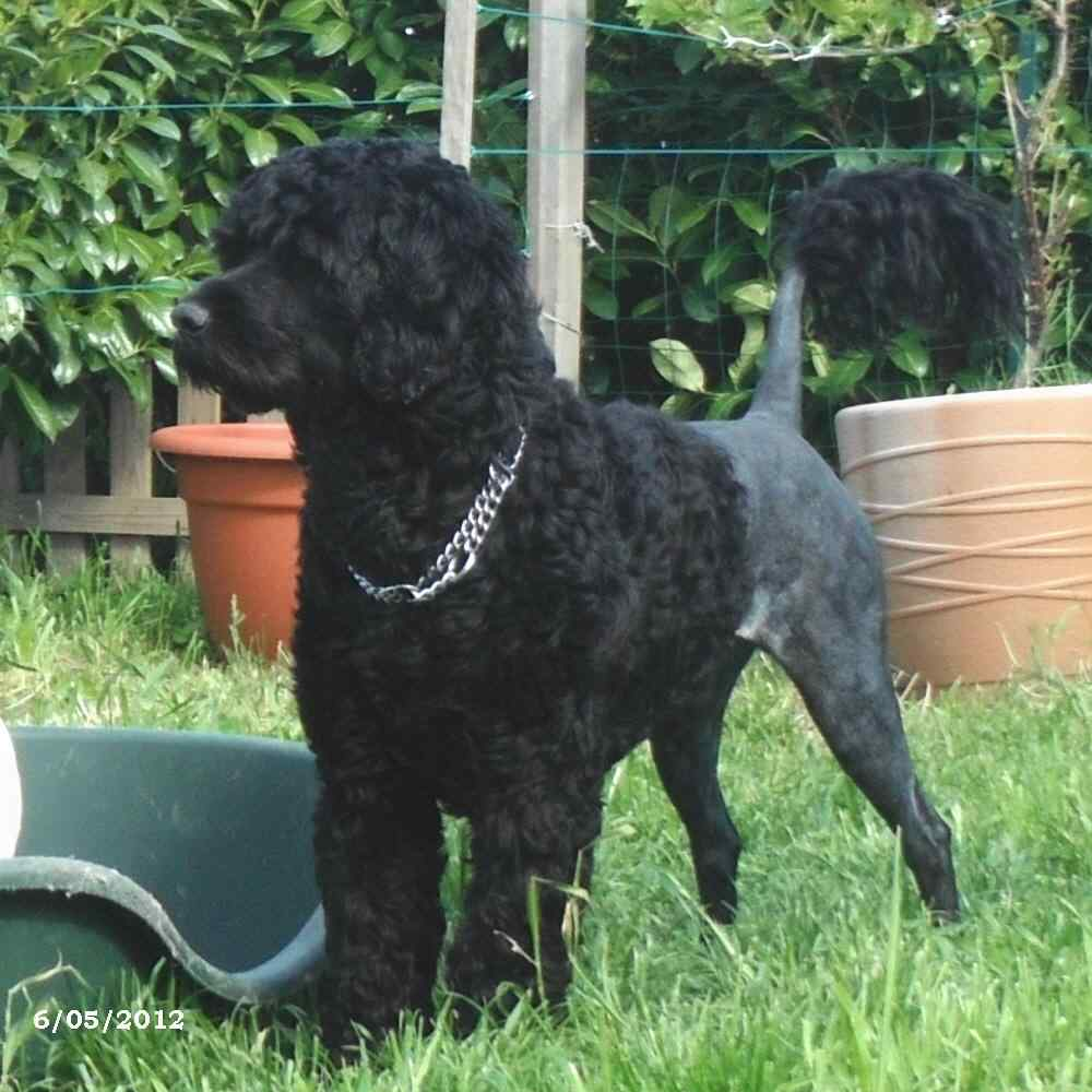 portuguese water dog : Gwendoline Da Luz Do Mar