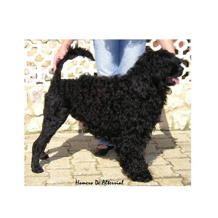 portuguese water dog : Homero de Alterrial