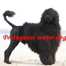 portuguese water dog, pwd