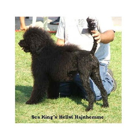 portuguese water dog : Sea King's HellVI Hajnhemme