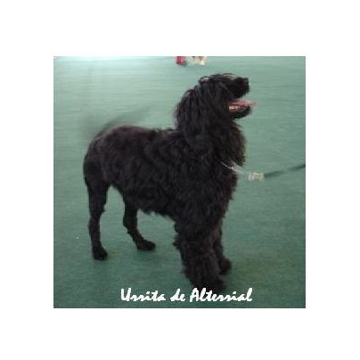 portuguese water dog : Urrita De Alterrial